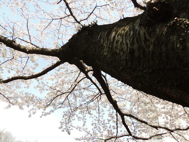 Photos: 東京桜-3