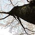東京桜-3