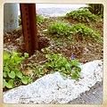 写真: A Violet 4-18-12