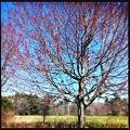 Maple Flowers 4-15-12