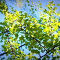 Photos: Ginkgo Tree 5-23-12