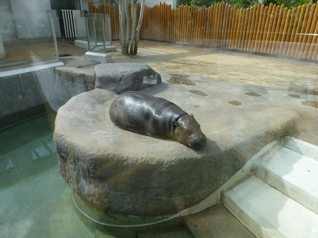 動物園 コビトカバ