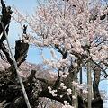 写真: 山高神代桜_5
