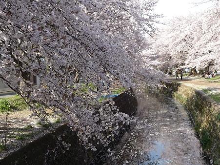 120412-千本桜 (80)