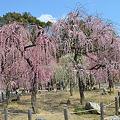 Photos: 結城神社 梅満開