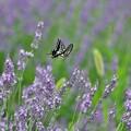 Photos: Love me tender,  Lavender.