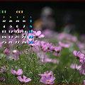 Photos: コスモス2011年10月カレンダー#2