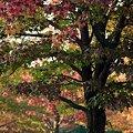 琥珀の紅葉