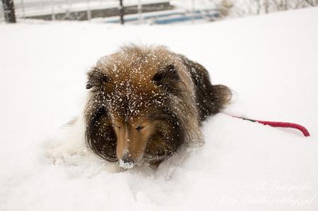 雪の中の愛犬  NEX-5 SEL30M35
