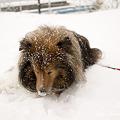 写真: 雪の中の愛犬  NEX-5 SEL30M35