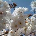 写真: 通り抜け 白桜2 20120421