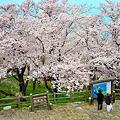 Photos: 紫雲出山山頂園地の桜 ☆