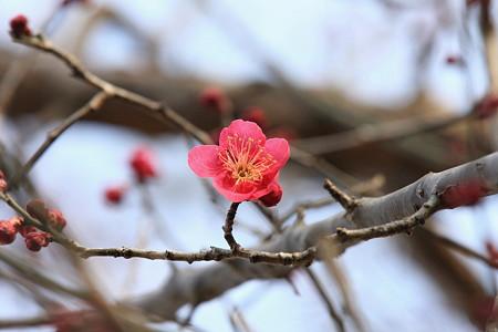 2012.02.22 和泉川 紅梅