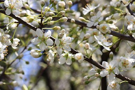 2012.04.05 和泉川 ミドリザクラ 5分咲き