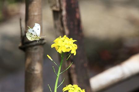 2012.04.24 和泉川 ツマキチョウ 飛翔