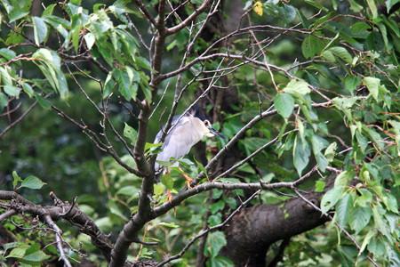 2012.07.14 和泉川 サクラにゴイサギ