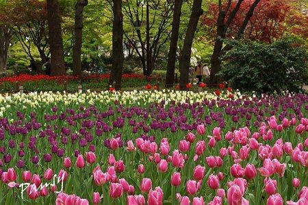 横浜公園のチューリップ 61