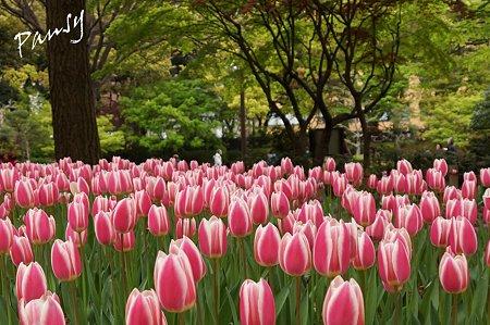 横浜公園のチューリップ 62