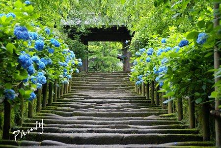 鎌倉石の参道・・明月院・・1