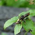 写真: セマダラコガネを捕えたオオイシアブ