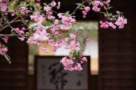 海棠の花が咲く海蔵寺2012!