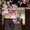 Photos: 海棠の花が咲く海蔵寺2012!