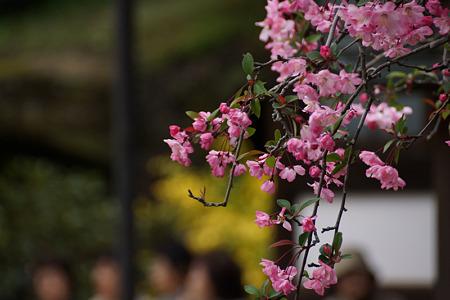海蔵寺の海棠2012!