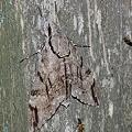 シモフリスズメ 20110714-2
