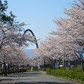 写真: レールウィング桜
