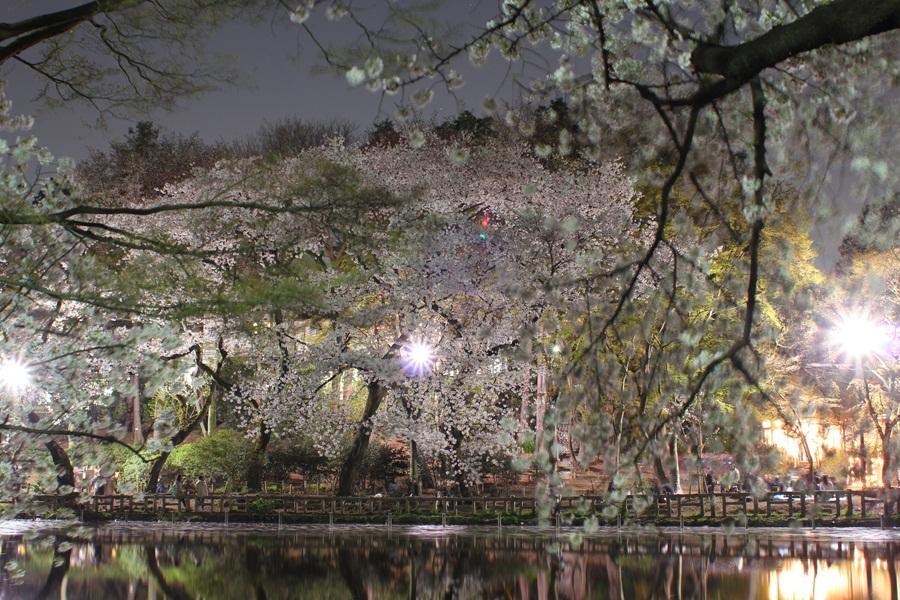 桜 (井の頭公園)