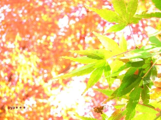 紅葉の賛美歌