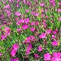 Photos: 四季咲きなでしこ in 千光寺山