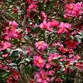 咲きまくるサザンカ、カンジロウ(山茶花、勘次郎) ツバキ科
