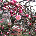 120302紅梅2(文京区春日)