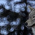 シンリンオオカミさん