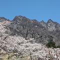 Photos: IMG_6052妙義山_艶桜_さくらの里