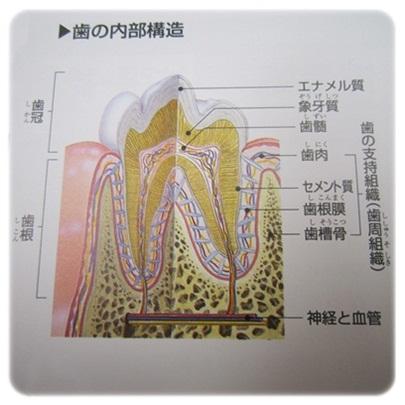 20111218 歯の内部構造