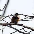 Photos: 鳥 やまがら