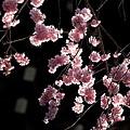 Photos: 桜巡礼`12'(身延、久遠寺、陽光編)-9