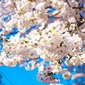 Photos: 桜一輪