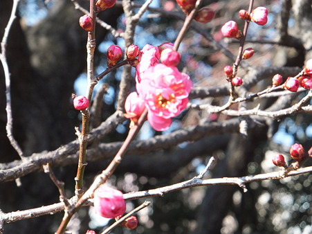 大宮公園の梅その2