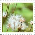 Photos: <花切手*キツネアザミの種>